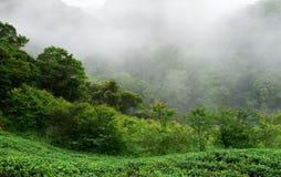 Azienda agricola fresca verde del tè con foschia Fotografia Stock