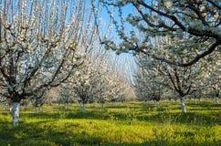 Azienda agricola - frutteto blu della prugna in piena fioritura in primavera Immagini Stock Libere da Diritti