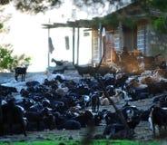 Azienda agricola greca della capra Immagini Stock