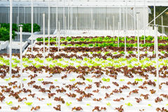 Azienda agricola idroponica Immagine Stock Libera da Diritti