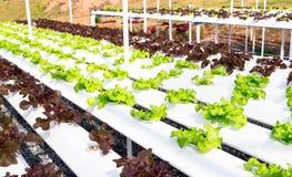 Azienda agricola idroponica Immagini Stock