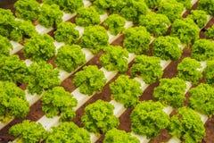 Azienda agricola idroponica dell'insalata delle verdure Metodo di coltura idroponica di crescita Fotografia Stock Libera da Diritti