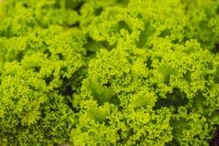 Azienda agricola idroponica dell'insalata delle verdure Metodo di coltura idroponica di crescita Fotografie Stock