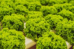 Azienda agricola idroponica dell'insalata delle verdure Metodo di coltura idroponica di crescita Immagini Stock Libere da Diritti