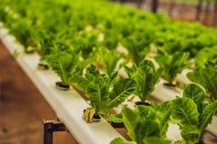 Azienda agricola idroponica dell'insalata delle verdure Metodo di coltura idroponica di crescita Immagine Stock Libera da Diritti