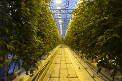 Azienda agricola islandese della serra del pomodoro immagine stock