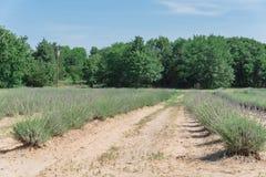 Azienda agricola locale della lavanda che fiorisce a Gainesville, il Texas, U.S.A. immagine stock libera da diritti