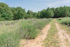 Azienda agricola locale della lavanda che fiorisce a Gainesville, il Texas, U.S.A. immagini stock libere da diritti