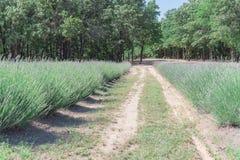 Azienda agricola locale della lavanda che fiorisce a Gainesville, il Texas, U.S.A. fotografie stock libere da diritti