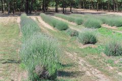 Azienda agricola locale della lavanda che fiorisce a Gainesville, il Texas, U.S.A. fotografia stock libera da diritti