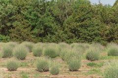 Azienda agricola locale della lavanda che fiorisce a Gainesville, il Texas, U.S.A. immagine stock