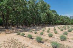Azienda agricola locale della lavanda che fiorisce a Gainesville, il Texas, U.S.A. immagini stock