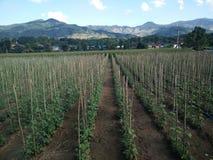 Azienda agricola lunga dell'arachide Fotografia Stock Libera da Diritti