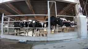 azienda agricola moderna della vacca da latte 4K Industria agricola, coltivare e zootecnia archivi video