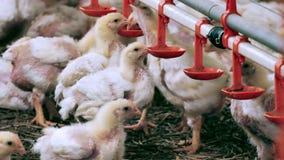 Azienda agricola moderna per i polli da carne crescenti stock footage
