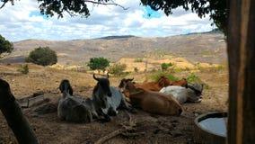 Azienda agricola - mucche nel campo immagini stock libere da diritti