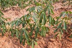 Azienda agricola nella zona tropicale, Tailandia della manioca Fotografie Stock Libere da Diritti