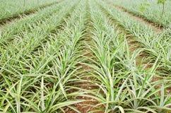Azienda agricola numero uno dell'ananas Fotografie Stock
