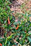 Azienda agricola organica dei peperoncini rossi in Tailandia Immagine Stock
