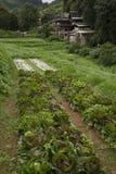 Azienda agricola organica del cavolo Fotografie Stock Libere da Diritti