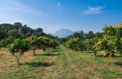 Azienda agricola organica del mango in campagna della Tailandia Fotografia Stock