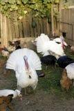 Azienda agricola organica dell'uccello Immagini Stock