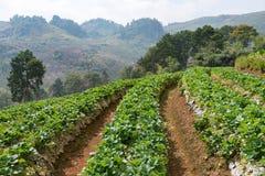 Azienda agricola organica della fragola Fotografia Stock