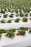 Azienda agricola organica della fragola Immagine Stock Libera da Diritti