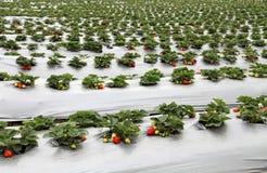 Azienda agricola organica della fragola Fotografia Stock Libera da Diritti