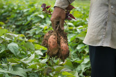 Azienda agricola organica della patata dolce Immagini Stock Libere da Diritti