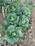 Azienda agricola organica delle verdure Fotografie Stock Libere da Diritti