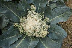 Azienda agricola organica delle verdure della lattuga Immagini Stock Libere da Diritti
