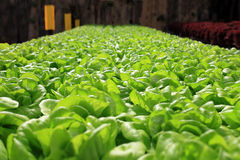 Azienda agricola organica di coltivazione del cavolo verde Fotografia Stock Libera da Diritti