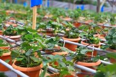 Azienda agricola organica di coltivazione della fragola Fotografia Stock Libera da Diritti