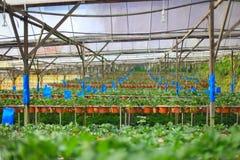 Azienda agricola organica di coltivazione della fragola Fotografia Stock