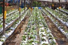 Azienda agricola organica di coltivazione della fragola Immagini Stock Libere da Diritti