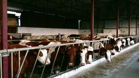Azienda agricola per crescere delle mucche da latte video d archivio