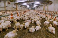Azienda agricola per i polli crescere immagini stock libere da diritti