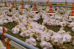 Azienda agricola per i polli crescere immagini stock