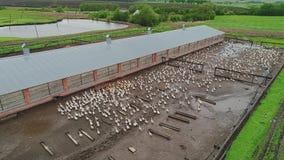 Azienda agricola per le oche crescere Vista aerea del movimento Una grande moltitudine di oche che corrono sulla terra stock footage