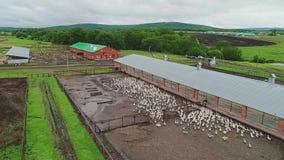 Azienda agricola per le oche crescere Vista aerea del movimento Una grande moltitudine di oche che corrono sulla terra archivi video