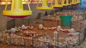 Azienda agricola per pollame crescente stock footage