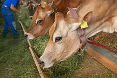 Azienda agricola svizzera della mucca Immagini Stock Libere da Diritti