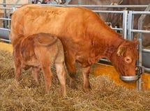 Azienda agricola svizzera della mucca Fotografie Stock Libere da Diritti