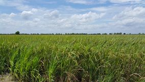 Azienda agricola tailandese Fotografia Stock Libera da Diritti