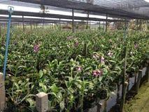 Azienda agricola tailandese delle orchidee Fotografia Stock