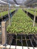 Azienda agricola tailandese delle orchidee Immagini Stock
