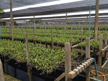 Azienda agricola tailandese delle orchidee Fotografia Stock Libera da Diritti