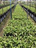 Azienda agricola tailandese delle orchidee Fotografie Stock Libere da Diritti