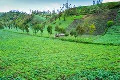 Azienda agricola tradizionale della patata fotografia stock libera da diritti